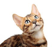 Cat isolated on white background. Royalty Free Stock Photos