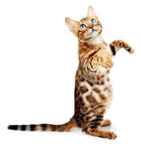 Cat isolated on white background. Royalty Free Stock Photography