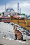 Cat in Istanbul Royalty Free Stock Image