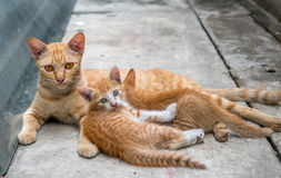 Cat and its children at home backyard Royalty Free Stock Image