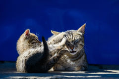 Cat and its kitten Stock Photography