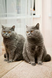 Cat and its reflection in a mirror. Grey british cat with orange eyes and its reflection in a mirror Stock Images