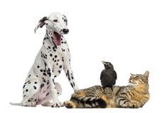 Cat and Jackdaw looking at a Dalmatian yawning, isolated. On white Stock Image