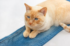 Cat on jeans Stock Image