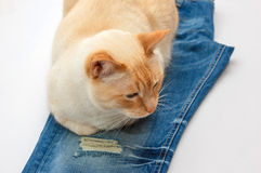 Cat with jeans Royalty Free Stock Image
