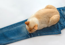 Cat on jeans Royalty Free Stock Image