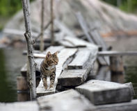 Cat on a jetty on the lake Stock Photography