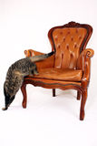 Cat jumping of chair Royalty Free Stock Photo