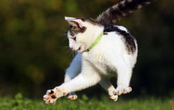 Cat jumping. In grass field Royalty Free Stock Images