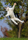 Cat jumping. In grass field Stock Image