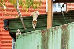 Cat Jumping in het geschilderde huis van La boca in Buenos aires royalty-vrije stock foto's