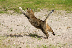 Cat jumping and hunting flies. Cat hunting flies by jumping on sand Stock Photo