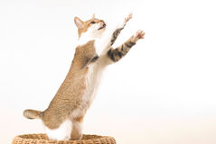 Cat jumps Royalty Free Stock Photo