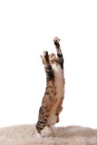 Cat jumps. The cat jumps upwards on a white carpet stock photos