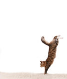 Cat jumps. The cat jumps downwards on a white carpet royalty free stock photography