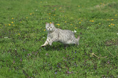 Cat Jumps Royalty Free Stock Image
