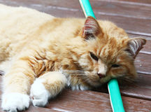 Cat keeping cool laying on a hose Royalty Free Stock Images