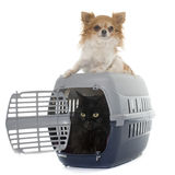 Cat in kennel and chihuahua Royalty Free Stock Photography