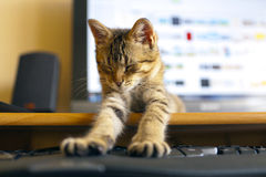 Cat with Keyboard. And display Royalty Free Stock Photography