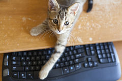 Cat with Keyboard. Small Cat with Computer Keyboard Royalty Free Stock Photos