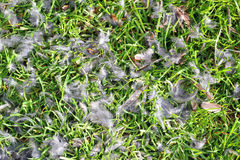 Cat kill. Bird feathers on green grass. Stock Photos