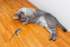 Cat kill rat. Close up Thai cat kill rat or mouse on ceramic floor tiles Stock Photos