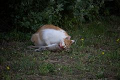 A cat killed and eat a rabbit. In the garden royalty free stock photos