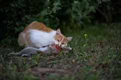 A cat killed and eat a rabbit. In the garden stock images