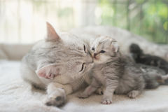 Cat kissing her kitten with love. American shorthair cat kissing her kitten with love Stock Image