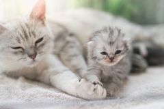 Cat kissing her kitten with love. American shorthair cat hugging her kitten with love Stock Images