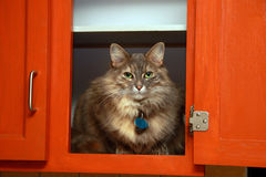 Cat in the kitchen. A cute and funny female cat in a kitchen cupboard Stock Photography
