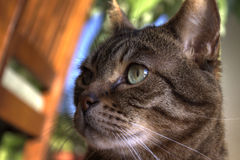 Portrait of tabby cat. Closeup side portrait of inquisitive tabby cat with colorful objects in background Royalty Free Stock Photo