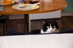 Cat At The Kitchen Table. A cat sitting on a chair next to the kitchen table Royalty Free Stock Images