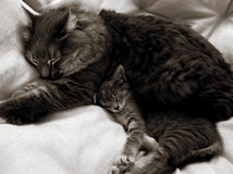 Cat and kitten. A mother cat and her kitten napping together stock photos