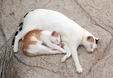 Cat and kitten. It is sweet sleep Royalty Free Stock Image