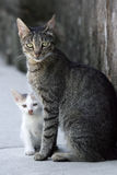 Cat and kitten. Close up off gray cat and white kitten standing next to each other Stock Photography