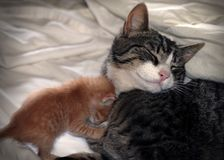Cat and kitten. Tabby cat with orange tabby kitten cuddling Stock Image