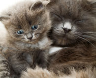 Cat and kitten Royalty Free Stock Image