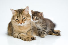 Cat And Kitten. Cat and little kitten on white background royalty free stock photos