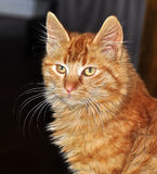 Cat. A kitten, also known as a kitty or kitty cat, is a juvenile cat. After being born, kittens are totally dependent on their mother for survival and they do Royalty Free Stock Photography