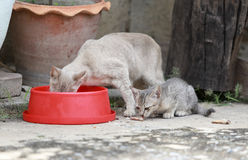 Cat and kitten are eating food. Cat and kitten are eating Thai food Stock Photography
