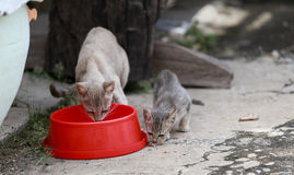 Cat and kitten are eating food. Cat and kitten are eating Thai food Royalty Free Stock Photography