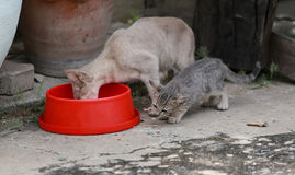 Cat and kitten are eating food. Cat and kitten are eating Thai food Stock Photos