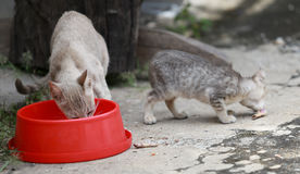 Cat and kitten are eating food. Cat and kitten are eating Thai food Stock Images