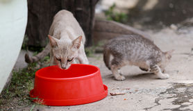 Cat and kitten are eating food. Cat and kitten are eating Thai food Stock Image