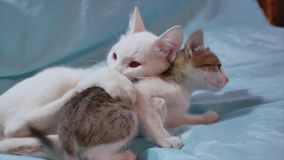 Cat and kitten are fighting. two kittens play a fight indoor. Cat and kitten are fighting. two kittens play fight indoor stock video