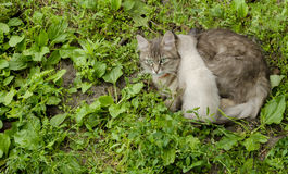 Cat with kitten in the grass Royalty Free Stock Photo