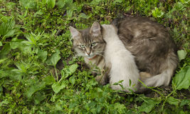 Cat with kitten in the grass Royalty Free Stock Image