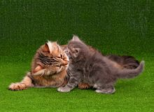 Cat and kitten Royalty Free Stock Photography