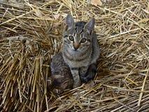 Cat with kitten in hay (felis catus) Stock Images